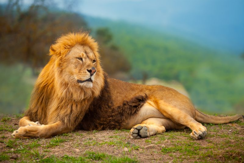 Lion bootcamp